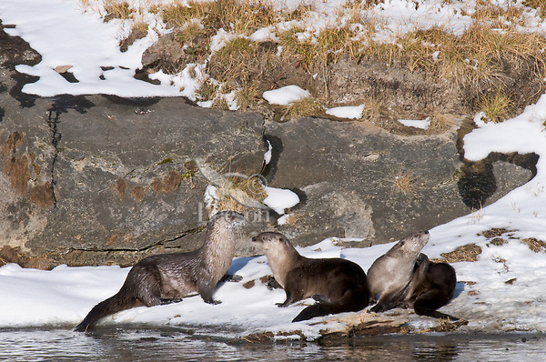 Northern River Otter (Lontra canadensis) along bank of Yellowstone River, Yellowstone National Park, Wyoming.  Late Fall.
