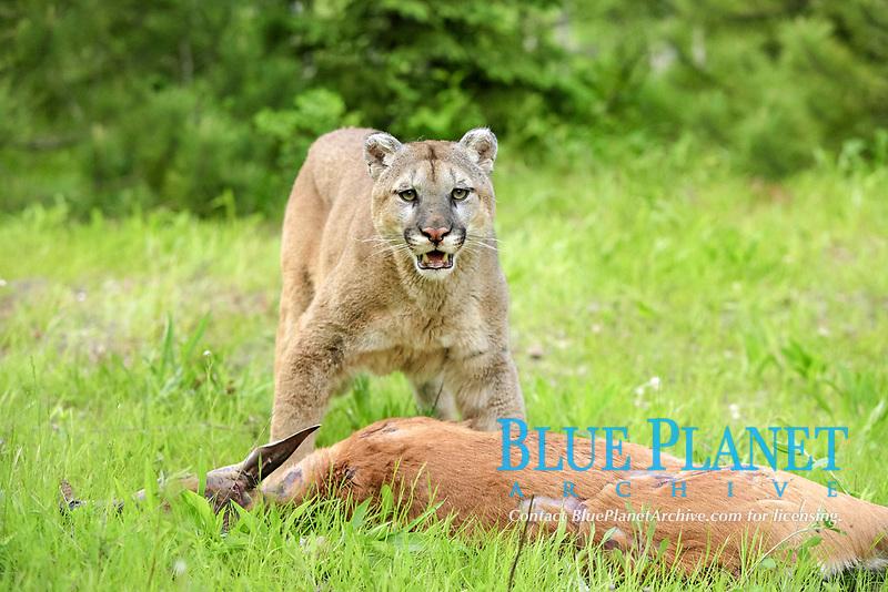Puma (Felis concolor), adult, feeding on deer kill, Minnesota, USA, North America