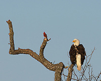 Bald Eagle at the Llano, Tx nest sits in a tree near a Northern Cardinal.