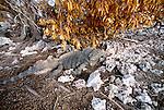 Cuban rock iguana, Cuba