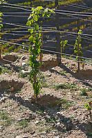 schist soil vineyard young vine quinta do seixo sandeman douro portugal