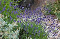 Lavandula angustifolia 'Hidcote' (Hidcote Lavender) flowering in Shelagh Tucker garden, Seattle, Washington