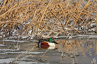 Northern Shoveler (Anas clypeata) resting in early morning after snow fall.  Oregon-California border.  Late winter/early spring.