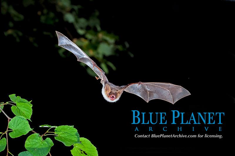 Greater mouse-eared bat (Myotis myotis) in flight, Thuringia, Germany, Europe