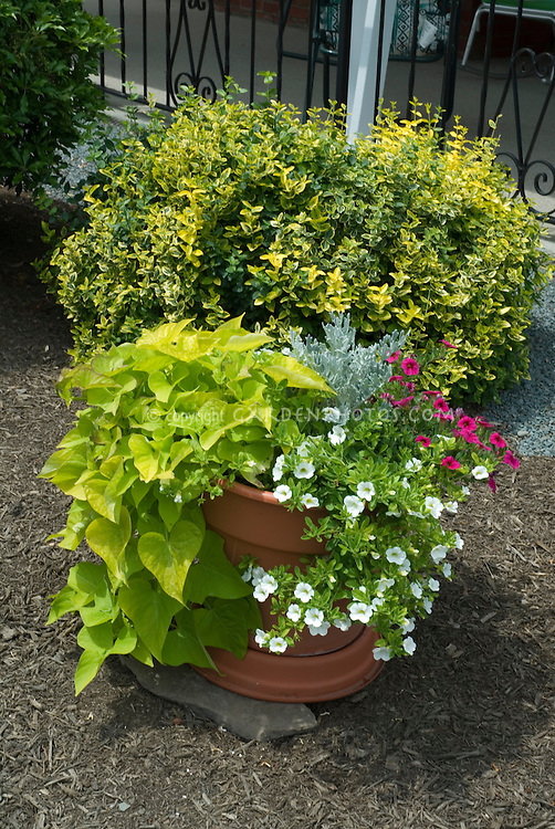 Trailing leaf Ipomoea (sweet potato vine) with Calibrachoa and Dusty Miller in pot)