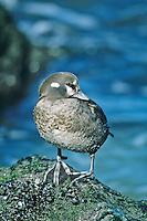 Harlequin Duck, female.  Barnegat, New Jersey