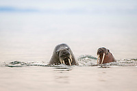 Atlantic walruses, Odobenus rosmarus rosmarus in the water, Svalbard, Norway, Europe, Arctic Ocean