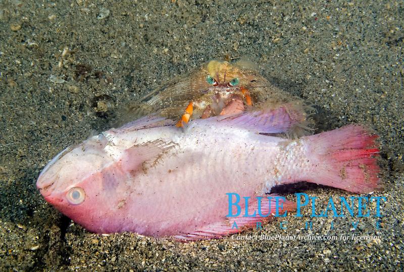 anemone hermit crab, Dardanus pedunculatus, scavenging dead anthias, Dumaguete, Philippines, Pacific Ocean