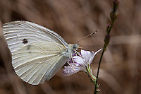A white butterfly stops for a meal on a purple and white flower at Crystal Cove State Park.  I love the butterfly's black and grey eyes, and the speckled pattern on its wings.  I believe this is a cabbage butterfly (aka small white; _Pieris rapae_) in family Pieridae.