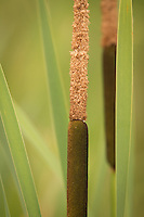 """Cattails""<br />