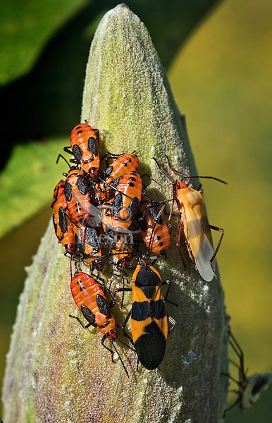Large Milkweed Bugs (Oncopeltus fasciatus) nymphs with adults (on right) on common milkweed seed pod (Asclepias syriaca) in September, Rondeau Provincial Park, southwestern Ontario, Canada. Adult on upper right has recently molted.
