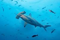Hammerhead shark; Scalloped hammerhead; Sphyrnidae; Sphyrna lewini