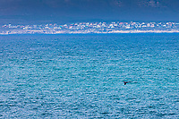 South Africa,Hermanus, westwern cape Garden route,a wale in the gulf