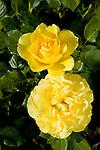 'SPARKLE AND SHINE' ROSE, ROSA HYBRID TEA