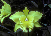 Brassolaeliocattleya Ports of Paradise 'Green Ching Hua' orchid hybrid