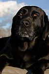 Black Labrador retriever (AKC) close-up with blue sky in background.  Winter, WI.