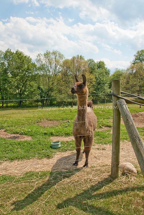 Llama mammal animal brown wool outside in pasture field behind barbed wire fence, blue skies, grass, hay