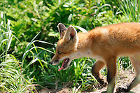 A red fox prowls its territory in Alaska's McNeil River State Game Sanctuary.