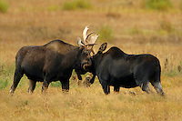 These two young bull moose (Alces alces) are learning to spar with each other. Neither seemed to really know how to go about it, but both knew they should try. Duels such as this with older more mature bulls are serious business and done for breeding rights. Round Prairie, Yellowstone.