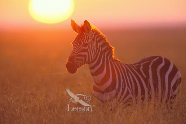 3MB548  Burchell's Zebra or Plains Zebra at sunrise on the Serengeti Plains of Tanzania.  May.