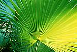 Fan palm, Sierra del Rosario, Cuba