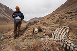 Snow Leopard (Panthera uncia) biologist, David Cooper, next to Argali (Ovis ammon) male killed by snow leopard, Sarychat-Ertash Strict Nature Reserve, Tien Shan Mountains, eastern Kyrgyzstan