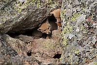 Wild Coyote (Canis latrans) pups at entrance to their den in rockpile.   (See photo #B2B3996 for overall image of densite.)