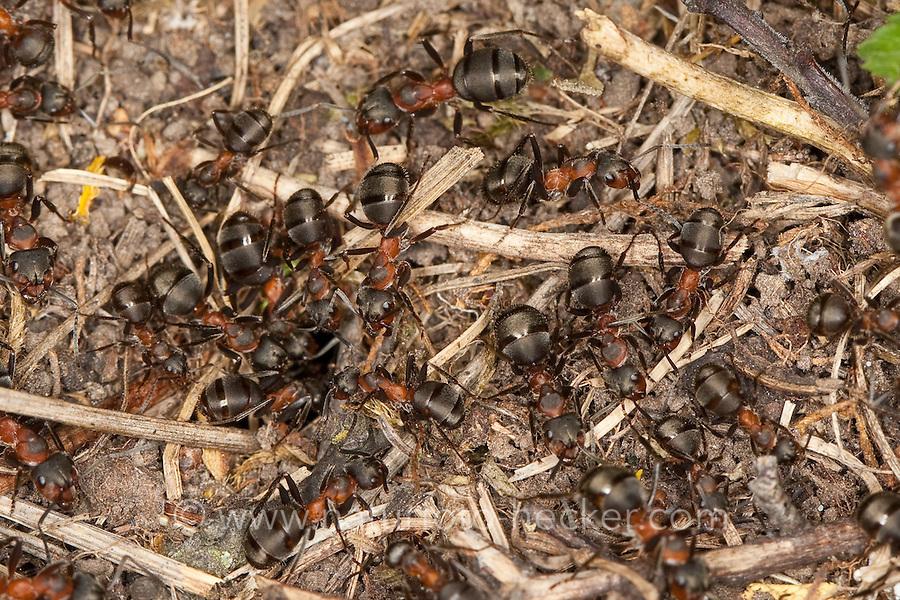 Rotbraune Wiesen-Waldameise, Große Wiesenameise, Waldameise, Ameise, Ameisen an ihrem Nest, Formica pratensis, Black-backed meadow ant