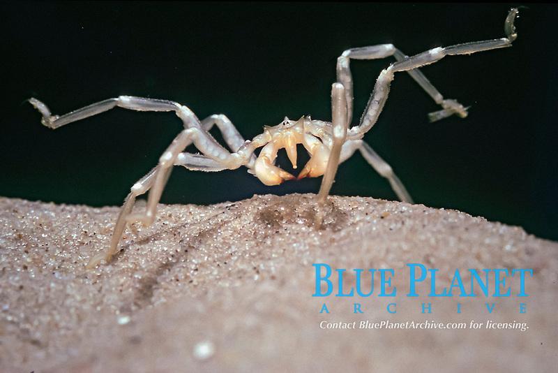 sea spider, pantopoda specimen, Pantopoda, Antarctica Alfred Wegener Laboratory, Bremerhaven