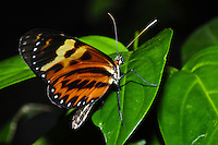 Brown Longwing, Heliconius hecale