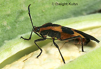 HE05-022a Large Milkweed Bug Adult on milkweed seed pod, Oncopeltus fasciatus