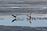 Hooded mergansers taking flight