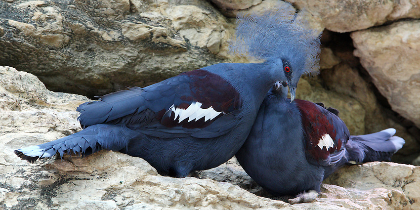 Along with its close and very similar looking relatives the Victoria Crowned Pigeon and the Southern Crowned Pigeon, the Blue Crowned Pigeon is one of the most beautiful members of the pigeon family.