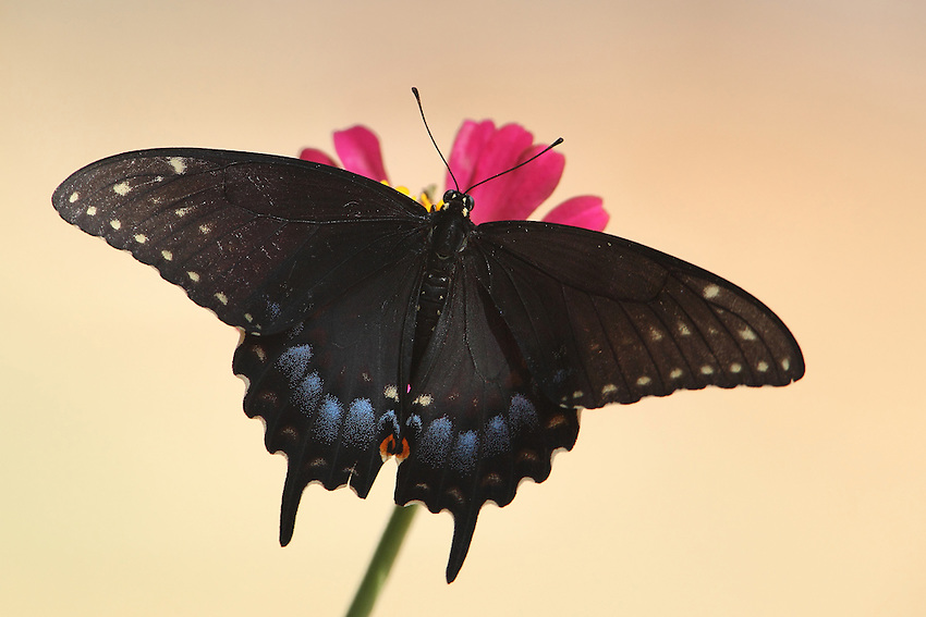 This swallowtail rests on a single zinnia, blooming on our beloved pet Daisy's grave. She's been gone a little over a year now.<br /> It's a fact that nothing in this physical universe ever really dies/is destroyed. It simply changes form. Our Daisy has wings now..