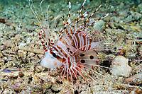 spotfin lionfish or broadbarred firefish, Pterois antennata, hunting redspot cardinalfish, Ostorhinchus parvulus (formerly Apogon parvulus), Raja Ampat Islands, West Papua, Indonesia, Indo-Pacific Ocean