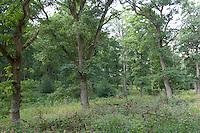 Lichter Eichenwald, naturnaher Laubwald, Hudewald, Hutewald, Hude-Wald, Naturpark Solling-Vogler, Solling, Niedersachsen