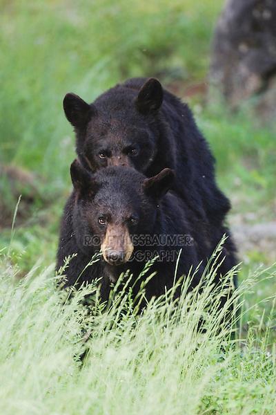 Black Bear (Ursus americanus), pair mating, Yellowstone National Park, Wyoming, USA