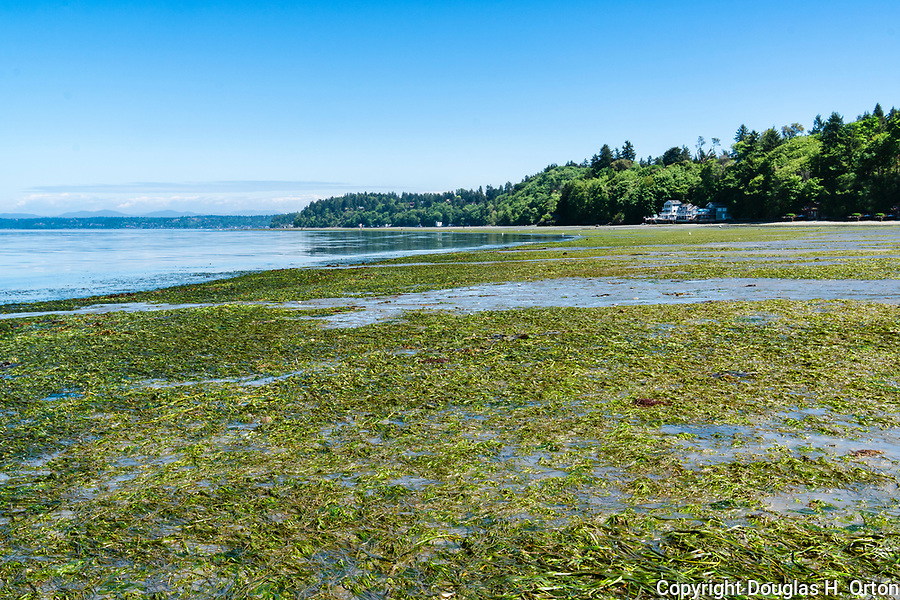 Low tide reveals eel grass  beach at Dash Point Park, on Puget Sound.  A City of Tacoma Metro Parks park near Dash Point State Park.  Dash Point is a historic Mosquito Fleet steam ship stop.