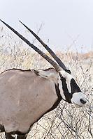 Oryx aka Gemsbok, Etosha NP, Namibia