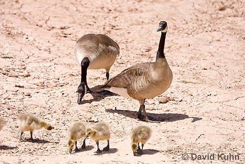 0224-1201  Canada Goose Goslings and Adults Foraging for Food (Canada Goose, Canadian Goose), Branta canadensis  © David Kuhn/Dwight Kuhn Photography