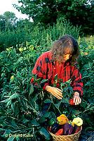 HS41-167x  Pepper - harvesting sweet bell peppers