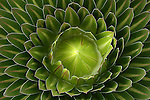 Les troncs des senecons geants (Senecio kilimanjari et Senecio johnstonii cottonii) peuvent atteindre 5 metres de haut et jouent le role de reservoirs d eau.  Une large et dense rosette de feuilles sommitales protege l apex de la plante du froid glacial nocturne. Quand ses feuilles meurent, elles ne tombent pas mais forment une couche isolante et seche protegeant le tronc. .