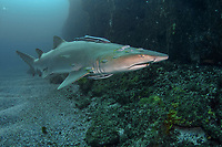 sand tiger shark, grey nurse shark, spotted ragged-tooth shark, Carcharias taurus, with attached Slender Suckerfish or Remora, Echeneis naucrates and an escort of juvenile Silver Trevally, Pseudocaranx dentex, Nine Mile Reef, Tweed Heads, New South Wales, Australia, South Pacific Ocean