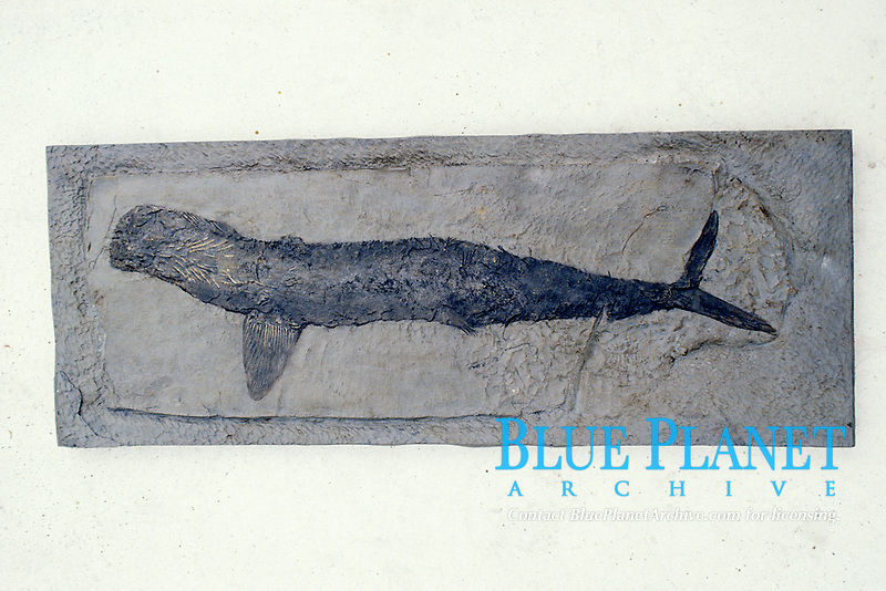 fossilized shark displayed in Los Angeles Musuem of Natural History
