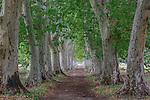 Plane trees, Provence, France