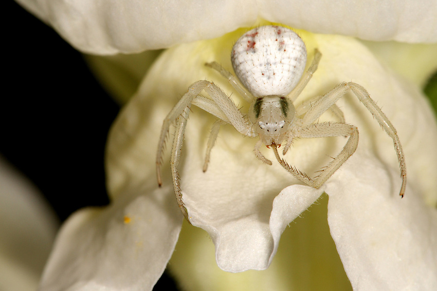 Crab Spider, any member of several families of free-living spiders that resemble small crabs.