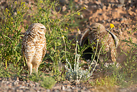 A pair of Burrowing Owls, Athene cunicularia, stands at the entrance to their artificial burrow in Zanjero Park, Gilbert, Arizona