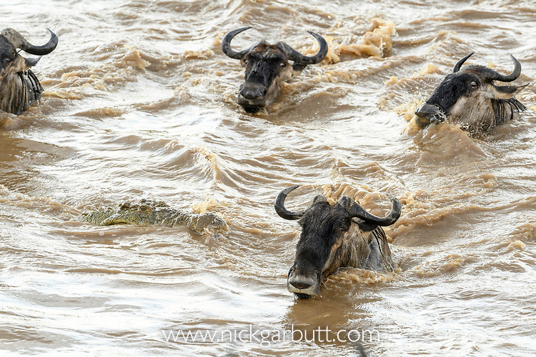 Nile crocodile (Crocodylus niloticus) waiting to attacking a white-bearded wildebeest (Connochaetes taurinus albojubatus) as they cross the Mara River. Northern Serengeti, Serengeti National Park, Tanzania (early September).