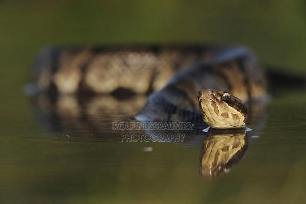 Western Cottonmouth (Agkistrodon piscivorus leucostoma), adult in lake, Fennessey Ranch, Refugio, Coastal Bend, Texas Coast, USA