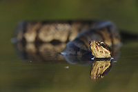 Western Cottonmouth (Agkistrodon piscivorus leucostoma), adult in lake, Fennessey Ranch, Refugio, Coastal Bend, Texas Coast, USA